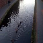 Birmingham geese